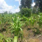 Maize crop growing in Kenya, Africa