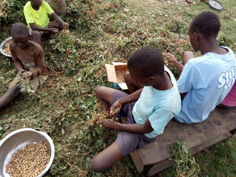 African boys harvesting peanuts